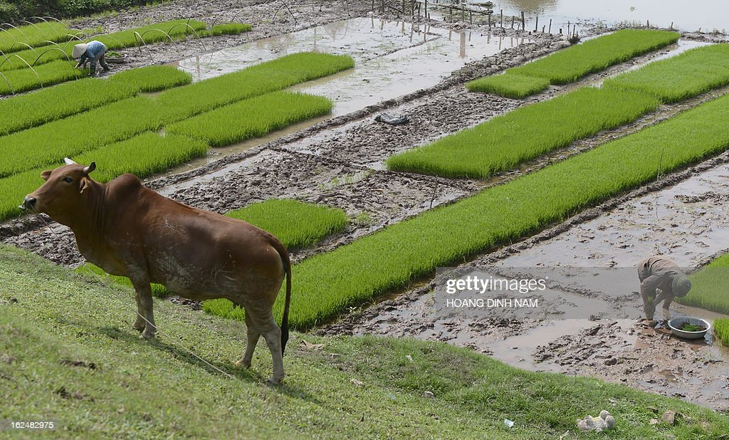 This picture taken on February 23, 2013 shows farmers planting rice on a field on the outkirts of Hanoi. Up to 70 percent of Vietnam's nearly 90 million population are farmers whose living depends largely on their traditional rice growing. AFP PHOTO/HOANG DINH Nam