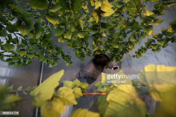 This picture taken on February 23 2017 shows Hu Rong manager of a farm walking in a room kept at a constant temperature setting with fake leaves for...