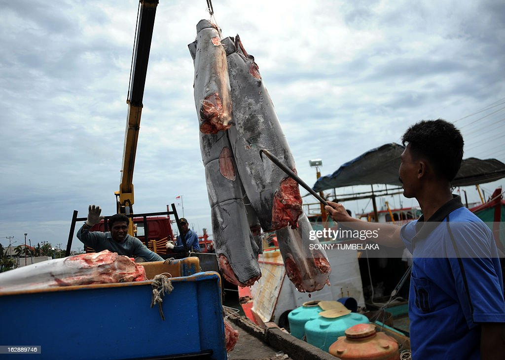 This picture taken on February 25, 2013 show carcasses of finless sharks being unloaded from a fishing boat in the port of Benoa in the resort island of Bali. Ninety percent of the world's sharks have disappeared over the past 100 years, mostly due to overfishing in countries such as Indonesia, the UN Food and Agriculture Organization said. Humans kill about 100 million sharks each year, mostly for their fins, according to FAO, and conservationists are warning that dozens of species are under threat. AFP PHOTO/ SONNY TUMBELAKA