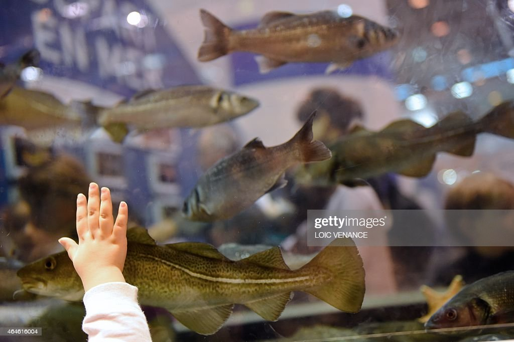 This picture taken on February 26 2015 shows a child applying his hand against an aquarium as a Pacific Cod swims past during the Paris international...
