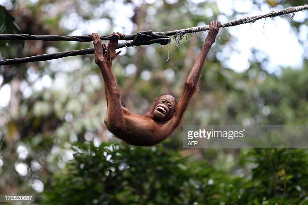 This picture taken on February 6 2013 shows an orangutan playing on a rope at the Sepilok Orang Utan Sanctuary in Sandakan in the Malaysian Borneo...