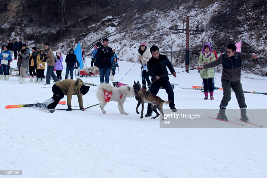 This picture taken on January 12 2014 shows pets and their owners competing in a skiing competition in Sanmenxia north China's Henan province A...