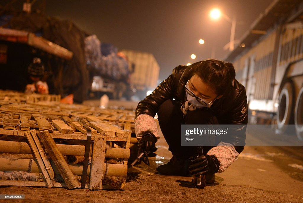 This picture taken on January 15, 2013 shows a volunteers feeding caged cats after the truck that was transporting more than 1000 cats was involved in an accident in Changsha, central China's Hunan province. The cats, dehydrated, hungry and destined to be eaten, were left stranded in more than 40 cramped cages in the abandoned truck They were finally rescued by animal loving local volunteers, state media reports. CHINA