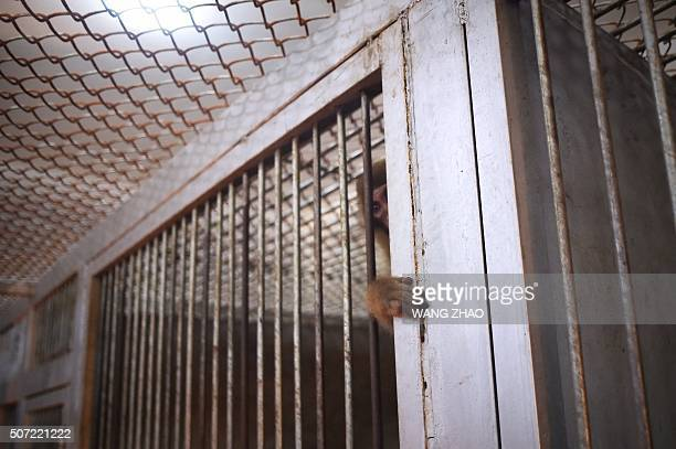 This picture taken on January 26 2016 shows a monkey watching from its cage at a monkey training school in a zoo in Dongying eastern China's Shandong...