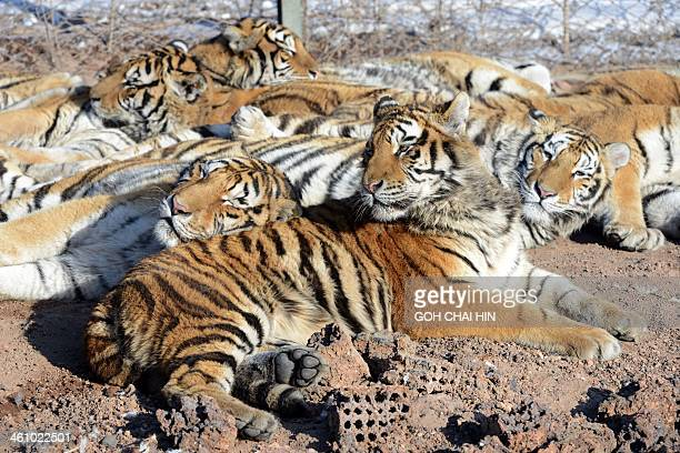 This picture taken on January 6 2014 shows a herd of Siberian tigers resting at the Siberian Tiger Park in Harbin northeast China's Heilongjiang...