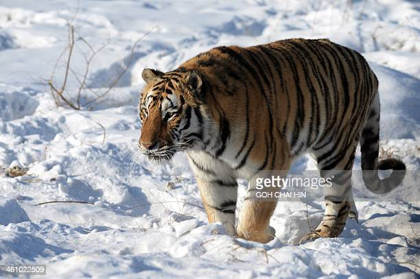 This picture taken on January 6 2014 shows a Siberian tiger making her way on the snowcovered ground at the Siberian Tiger Park in Harbin northeast...