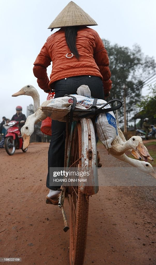 This picture taken on January 7, 2013 shows a woman carrying ducks on her bicycle as she makes her way to a local market in Nhu Xuan district, north-central province of Thanh Hoa. The northern part of the country continues to face a tough wave of cold weather this winter, affecting both people's health and agricultural production. AFP PHOTO / HOANG DINH Nam