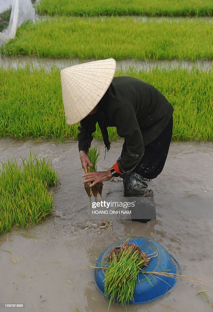 This picture taken on January 8, 2013 shows a farmer working on a rice field in Nhu Xuan district, north-central province of Thanh Hoa on January 8, 2013. Thailand lost its status as the world's top rice exporter in 2012 as a controversial scheme to boost farmer incomes saw it overtaken by India and Vietnam, an industry group said on January 4. AFP PHOTO/HOANG DINH Nam