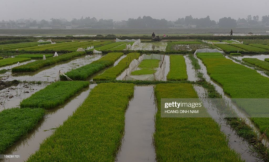 This picture taken on January 8, 2013 shows farmers working on a rice field in Nhu Xuan district, north-central province of Thanh Hoa on January 8, 2013. Thailand lost its status as the world's top rice exporter in 2012 as a controversial scheme to boost farmer incomes saw it overtaken by India and Vietnam, an industry group said on January 4. AFP PHOTO/HOANG DINH Nam
