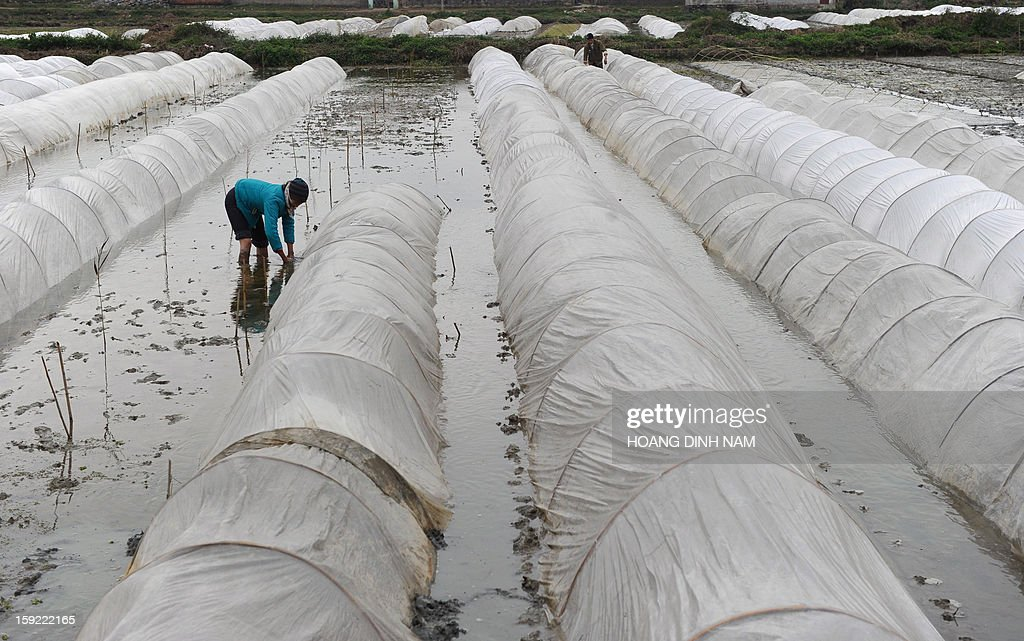 This picture taken on January 9, 2013 shows a woman working on a rice field where plastic shelters were set up to protect paddy seeds, in Ha Trung district in the north-central province of Thanh Hoa. The northern part of the country continues to face a tough wave of cold weather this winter, affecting both people's health and agricultural production. AFP PHOTO / HOANG DINH Nam