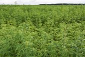 This picture taken on July 12 2016 shows a hemp field farmed by Interval company in ArcLesGray near Dijon central eastern France Faurecia and...