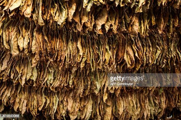 This picture taken on July 12 shows tobacco leaves in a tobacco drying shed in the village of Kukuryak southeast of the Bulgarian capital Sofia...
