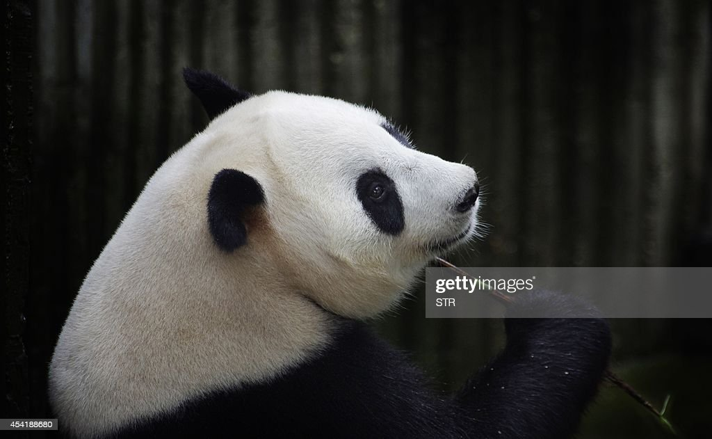 This picture taken on July 17, 2014 shows giant panda Ai Hin holding a bamboo twig at the Chengdu Giant Panda Breeding Research Centre in Chengdu, in southwest China's Sichuan province. Hopes that tiny panda paws would be seen in the world's first live-broadcast cub delivery were dashed on August 26, 2014 when Chinese experts suggested the 'mother' may have been focusing more on extra bun rations than giving birth. CHINA