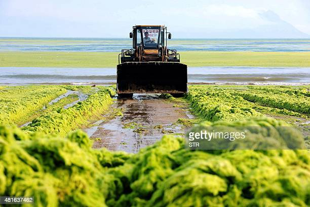 This picture taken on July 22 2015 shows a worker clearing out algae from the water along a beach in Qingdao in eastern China's Shandong province The...