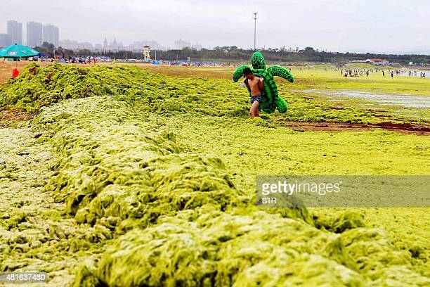 This picture taken on July 22 2015 shows a youth walking through algae at a beach in Qingdao in eastern China's Shandong province The algal...