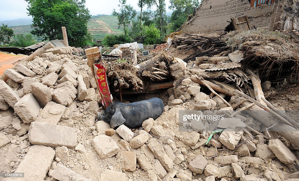 This picture taken on July 23, 2013 shows a dead pig lying amongst the debris of a house destroyed in the earthquakes in Yongguang township, Minxian county in Dingxi, in northwest China's Gansu province. The traumatised survivors of two shallow earthquakes that killed at least 94 people in China began burying their dead on July 23, as they struggled with the devastation left behind. CHINA