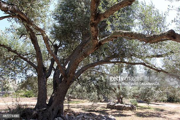 This picture taken on July 29 2015 shows a plantation of olive trees in Bonifacio on the French Mediterranean island of Corsica AFP PHOTO / PASCAL...