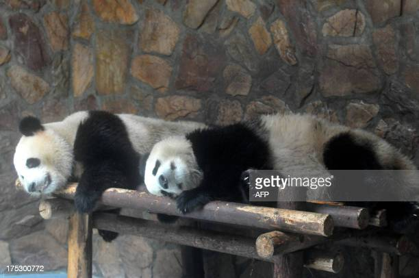 This picture taken on July 31 2013 shows two pandas sleeping in a 'panda villa' equipped with an air conditioner to cool them off in Chengdu...