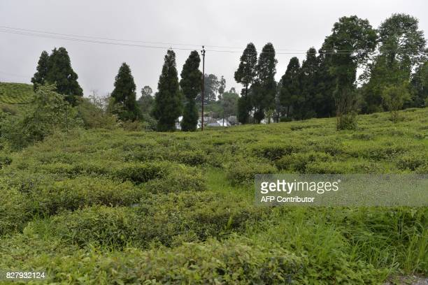 This picture taken on July 7 2017 shows tea bushes of the Happy Valley Tea Garden which is empty of workers during an indefinite strike in Darjeeling...