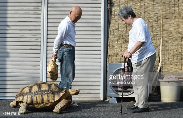 this picture taken on june 10 2015 shows bon chan a 19 year old male african spurred tortoise. Black Bedroom Furniture Sets. Home Design Ideas