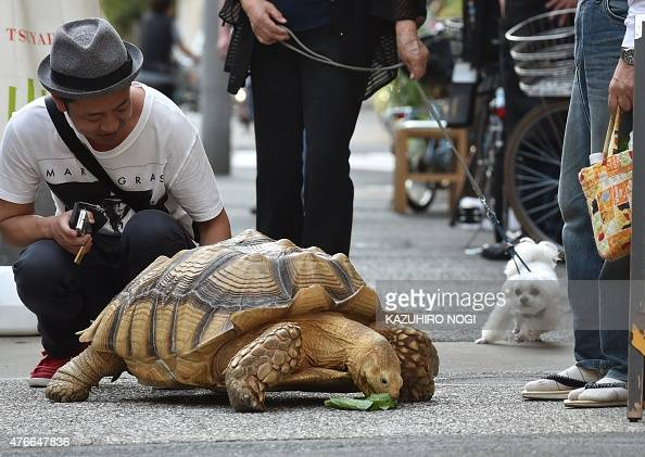 This picture taken on June 10 2015 shows Bonchan a 19 year old male African spurred tortoise weighing about 70 kg eating pieces of cabbage while out...