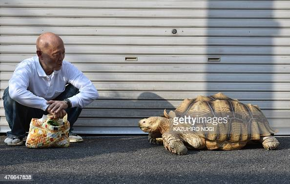 This picture taken on June 10 2015 shows Bonchan a 19 year old male African spurred tortoise weighing about 70 kg and his owner Hisao Mitani taking a...