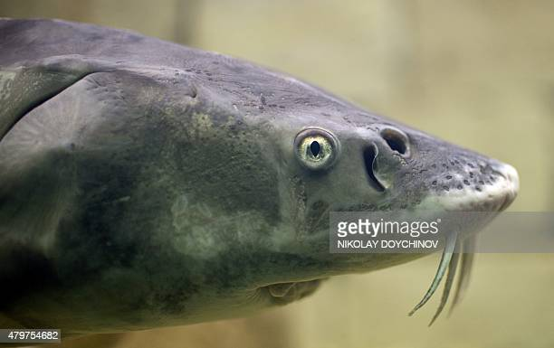 This picture taken on June 19 2015 shows a sturgeon fish in an aquarium at the Eco Museum in Ruse NorthEast Bulgaria On November 18 2014 the WWF has...