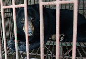 This picture taken on June 23 2015 shows a captive moon bear inside a metal cage at a private bear farm which was targeted by animal protection group...