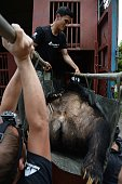 This picture taken on June 23 2015 shows Animals Asia staff transferring a captive anesthetized moon bear onto a truck after removing it from a cage...