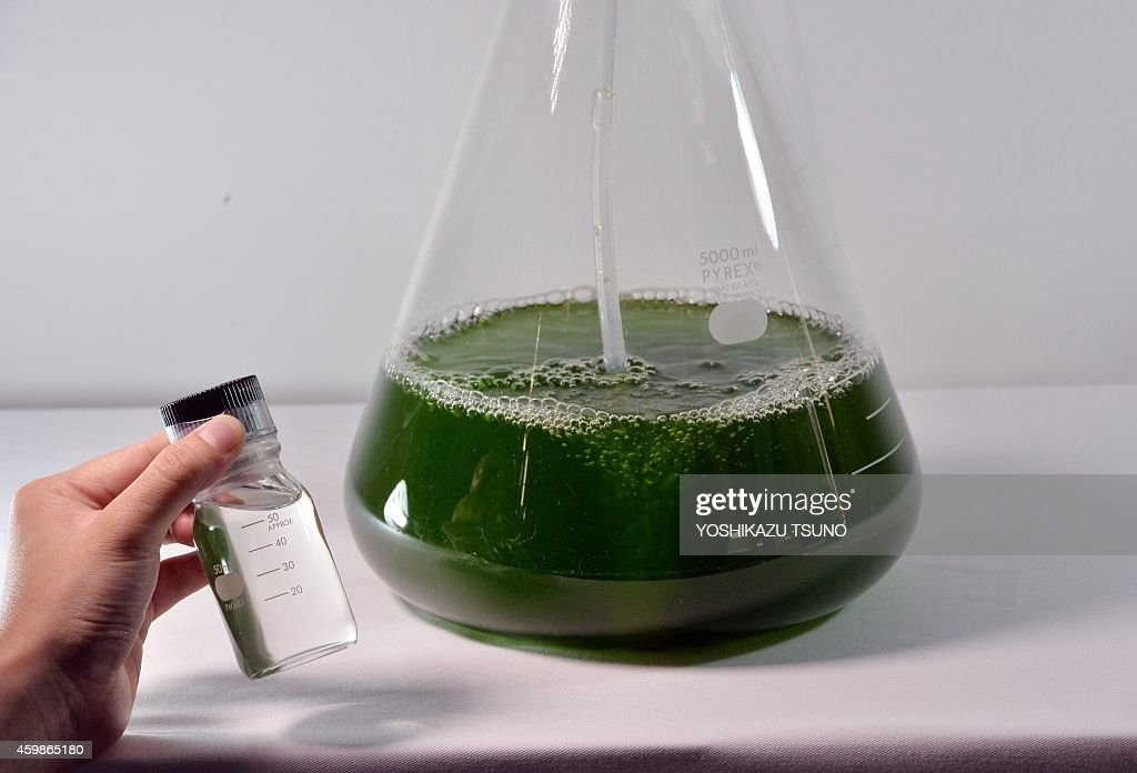 This picture taken on June 25 2014 shows euglena is cultivated in a flask and the world's first biofuel made from euglena as Japanese biotechnology...