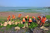 This picture taken on June 29 2016 shows workers cleaning algae on a beach in Qingdao east China's Shandong province The algal phenomenon an annual...