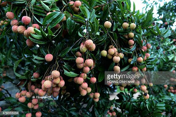 This picture taken on June 7 2015 shows ripe lychee fruits waiting to be picked up at a lychee garden in Chi Linh district northern province of Hai...