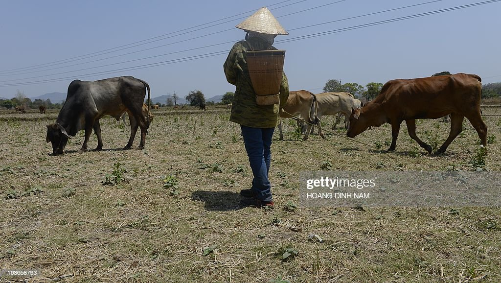 This picture taken on March 12, 2013 shows a farmer herding cows on a dry rice field in a drought-hit area in Vietnam's central highland's province of Gia Lai. AFP PHOTO/HOANG DINH Nam