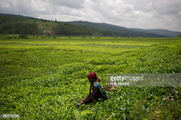 This picture taken on March 15 2014 shows a labourer picking tea leaves in the plantations of Sorwathe Tea Ltd in the Cyohoha district Rwanda Tea is...