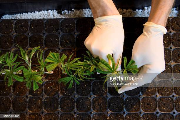This picture taken on March 16 2017 an employee preparing legal cannabis plants cutting in the greenhouse of Switzerland's cannabis producer...