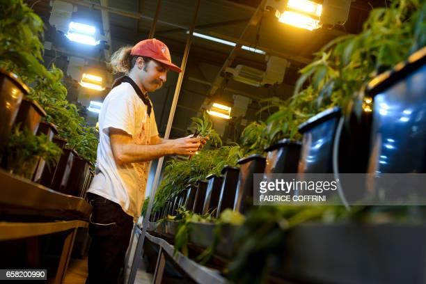This picture taken on March 16 2017 shows a employee collecting legal cannabis plants in the greenhouse of Switzerland's cannabis producer KannaSwiss...