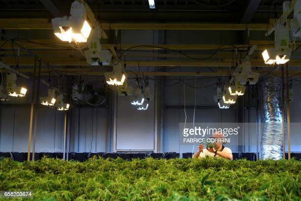 This picture taken on March 16 2017 shows an employee collecting legal cannabis plants in the greenhouse of Switzerland's cannabis producer...