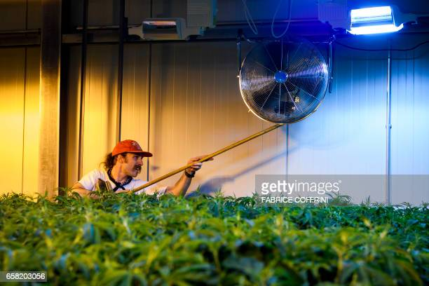 This picture taken on March 16 2017 shows an employee setting a fan next to legal cannabis plants growing in the greenhouse of Switzerland's cannabis...