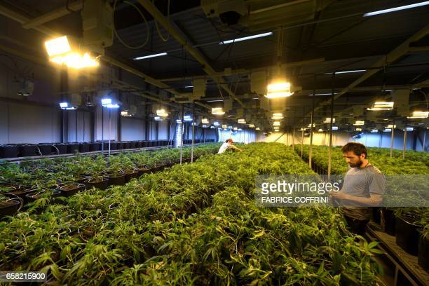 This picture taken on March 16 2017 shows employee collecting legal cannabis plants in the greenhouse of Switzerland's cannabis producer KannaSwiss...