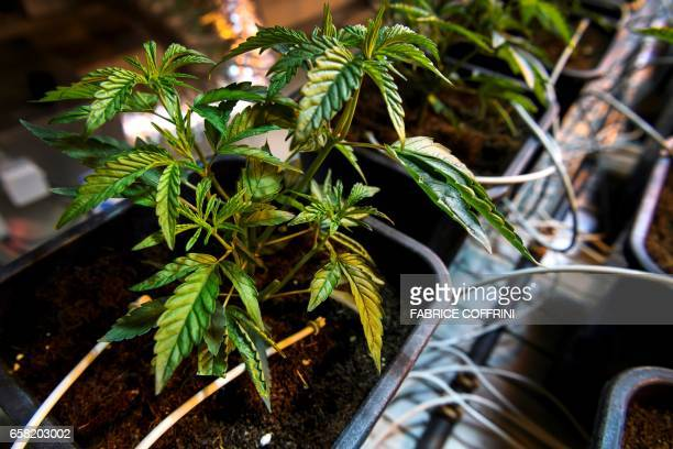 This picture taken on March 16 2017 shows legal cannabis plants growing under eavy light in the greenhouse of Switzerland's cannabis producer...