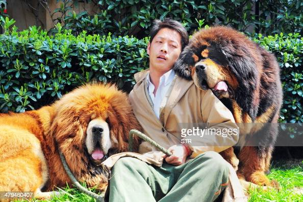 This picture taken on March 18 2014 shows an unidentified man posing for a photo with two Tibetan mastiffs after they were sold at a 'luxury pet'...