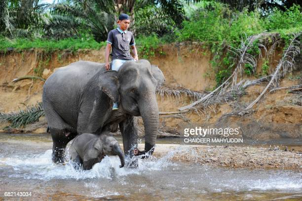 This picture taken on May 10 2017 shows a baby Sumatran elephant walking with a mahout riding her mother at the Trumon Conservation Response Unit in...