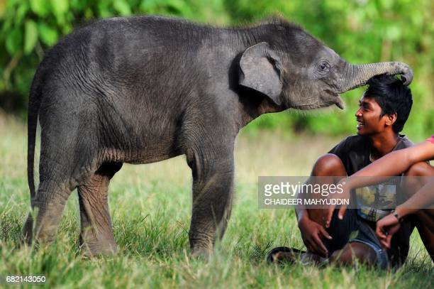 TOPSHOT This picture taken on May 10 2017 shows a baby Sumatran elephant playing with a mahout from the Trumon Conservation Response Unit at the...
