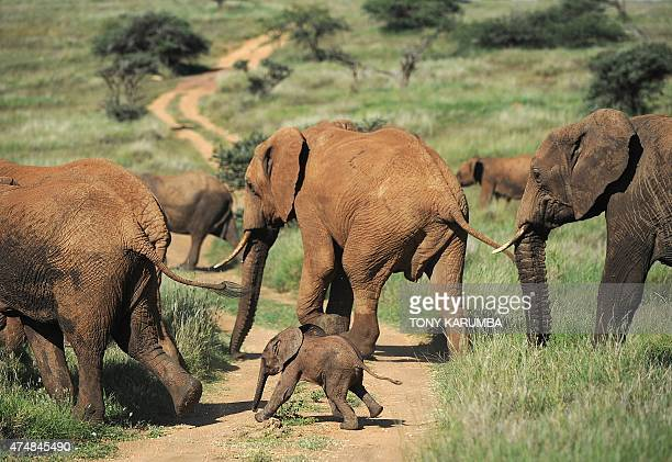 This picture taken on May 21 2015 shows elephants walking on a path at the Lewa Wildlife Conservancy at the foot of Mount Kenya approximately 300 km...
