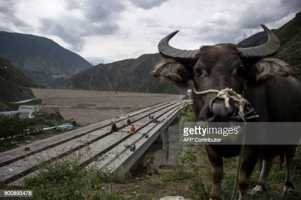 This picture taken on May 25 2017 shows a water buffalo grazing next to a dam near Lianghekou Towering walls of concrete entomb lush forests on...