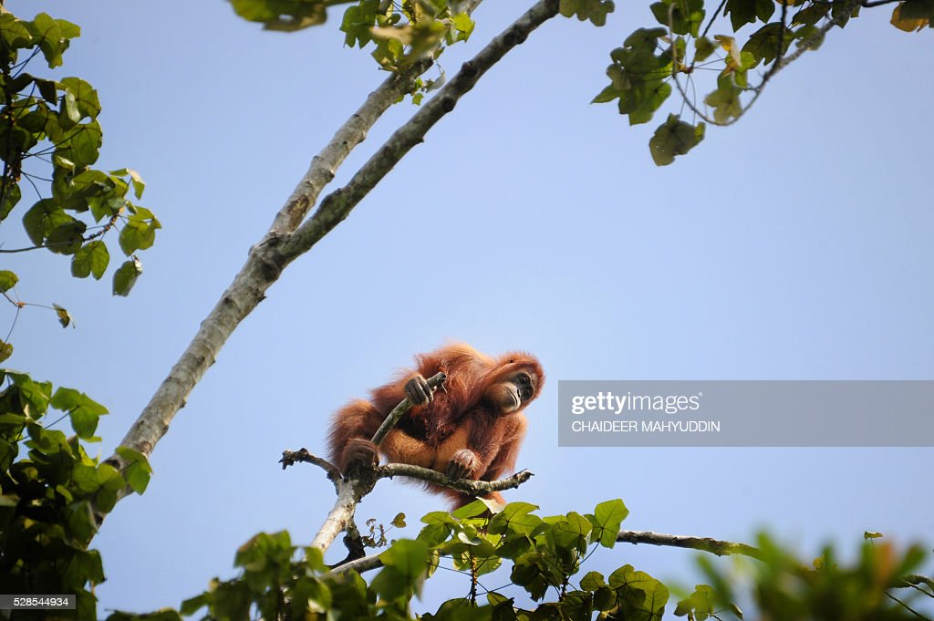 This picture taken on May 3, 2016 in Alue Bilie, in Tripa peat swamp area shows a five-year-old wildlife orangutan trapped and being rescued by Sumatran Orangutan Conservation Programme (SOCP) and Yayasan Ekosistem Lestari (YEL) in Aceh province. The Orangutan is currently listed as critically Endangered by the IUCN (International Union for the Conservation of Nature and Natural Resources) with only about 6,000 Sumatran orangutans remaining. / AFP / CHAIDEER