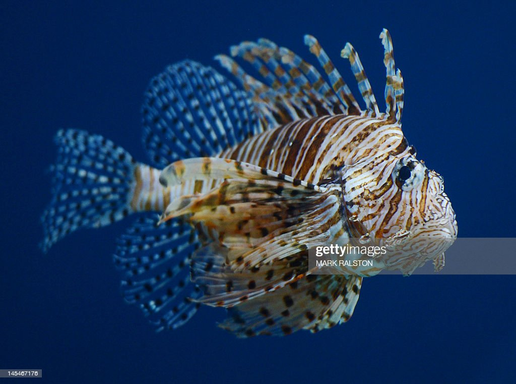This picture taken on May 30 2012 shows a winged lionfish at the Beijing Aquarium The aquarium which is the largest in China and shaped like a huge...