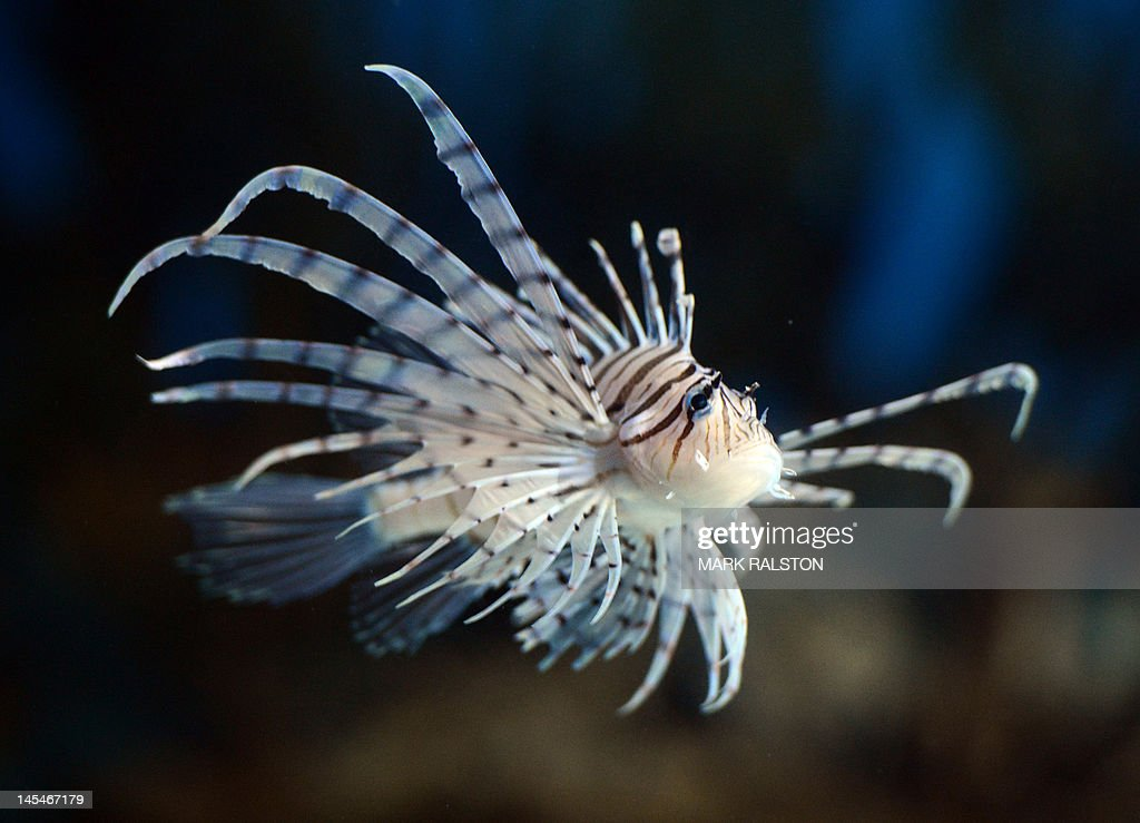 This picture taken on May 30 2012 shows a zebra turkeyfish at the Beijing Aquarium The aquarium which is the largest in China and shaped like a huge...