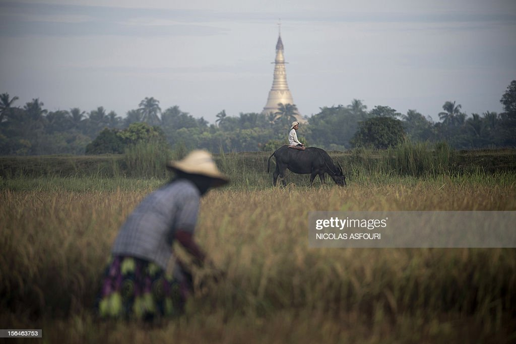 This picture taken on November 15, 2012 shows a Myanmar boy sitting on a bull (C) and a woman (L) harvesting rice at a paddy field on the outskirts of Bago, around 80 km north of Yangon. Rice exports from Myanmar may more than double to 1.5 million metric tons this year, an industry group forecast, highlighting the country's potential to boost overseas trade as its government pursues reform. AFP PHOTO/ Nicolas ASFOURI