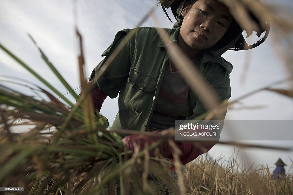 This picture taken on November 15, 2012 shows a Myanmar woman harvesting rice at a paddy field on the outskirts of Bago, around 80 km north of Yangon. Rice exports from Myanmar may more than double to 1.5 million metric tons this year, an industry group forecast, highlighting the country's potential to boost overseas trade as its government pursues reform. AFP PHOTO / Nicolas ASFOURI